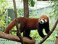 Kleiner panda1.JPG