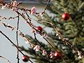 Klimaerwärmung Kirschblüten am Weihnachtsbaum Weihnachten 2015 Kurpark Bad Mergentheim.jpg
