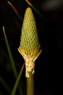 Patagonia South America >> Kniphofia uvaria - Wikipedia