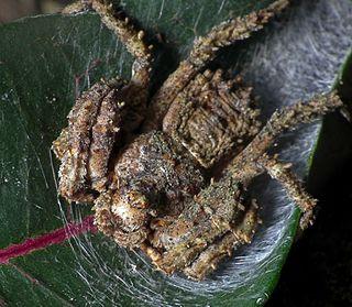 <i>Stephanopis</i> genus of arachnids
