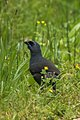 Kokako - Tiri Tiri - New Zealand (38430267755).jpg