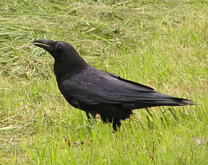 Common Raven, resident in very small numbers.