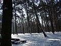 Koniec zimy w połowie marca - Wolica las - 03 - panoramio.jpg