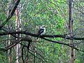 Kookaburra - Flickr - GregTheBusker (1).jpg