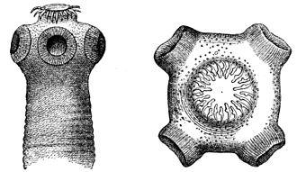 Cestoda - Scolex of Taenia tapeworm