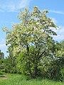 Korina 2011-05-20 Robinia pseudoacacia 3.jpg