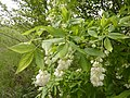 Korina 2012-05-15 Staphylea pinnata.jpg