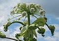 Korina 2012-06-12 Heracleum mantegazzianum 6.jpg