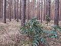 Korina 2013-03-18 Mahonia aquifolium 6.jpg