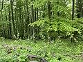 Kosmaj forest 3.jpg