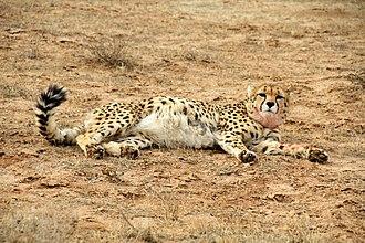 Asiatic cheetah - Kushki the cheetah