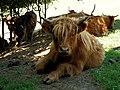 Krava s dokonalým účesom - panoramio.jpg