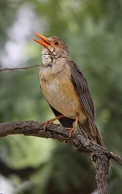 Kurrichane Thrush, Turdus libonyanus near Pretoria, South Africa (8035546265).jpg