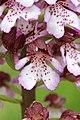 Lady Orchid - Orchis purpurea - panoramio (16).jpg
