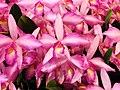 Laeliocattleya Rubescent Atreus 'Pinkie' -台南國際蘭展 Taiwan International Orchid Show- (39926100335).jpg