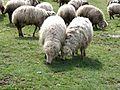 Lamb in Armenia (1).jpg