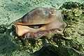 Lambis lambis, Smooth spider conch. DSCF4982ОВ.jpg
