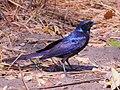 Lamprotornis mevesii 240 cropped.jpg
