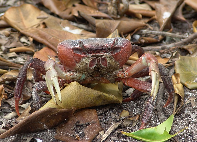 Fichier:Land Crab - Cardisoma carnifax 1 (4113756494).jpg