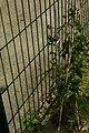 Lapageria rosea, Conservatoire botanique national de Brest 02.jpg