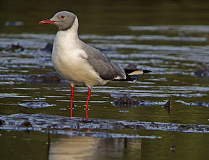 Grey-headed gull - Breeding adult, Senegal