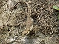 Laudakia tuberculata Dharchula.jpg