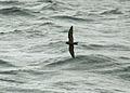Leach's Storm Petrel, off Nantucket 1.jpg