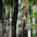 Least Flycatcher (7337761738).jpg