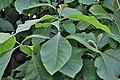 Leaves I IMG 8820.jpg