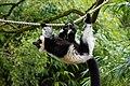 Lemur (26080763298).jpg