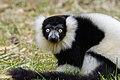 Lemur (26992186138).jpg