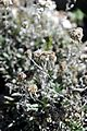 Leontopodium leontopodinum - GBA Viote 53.jpg