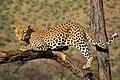 Leopard (2183146305).jpg