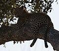 Leopard in tree (6268975373).jpg