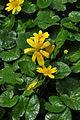 Lesser celandine-Чистяк весенний (8730988399).jpg