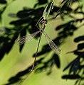 Lestes parvidens - mužjak 2.jpg