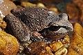 Lesueurs Frog05.jpg