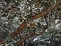 Leucaena leucocephala 13.jpg