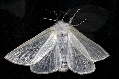 Leucoma salicis, Lodz(Poland)01(js).jpg