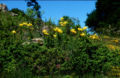 Lil rhodopeum 02Bio Griechenland Rhodopen Livaditis 12 06 00.jpg