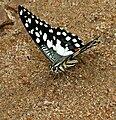 Lime Butterfly (Papilio demoleus) mud-puddling W IMG 0203.jpg