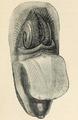 Lingula anatina 003.png