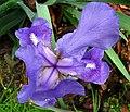 Lirio morado - Lirio común - Cárdeno (Iris germanica) (14367944274).jpg