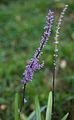 Liriope muscari - Fleurs-3.jpg