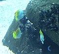 Lisbon, Oceanarium, Threadfin butterflyfish.JPG