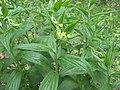 Lithospermum latifolium.jpg