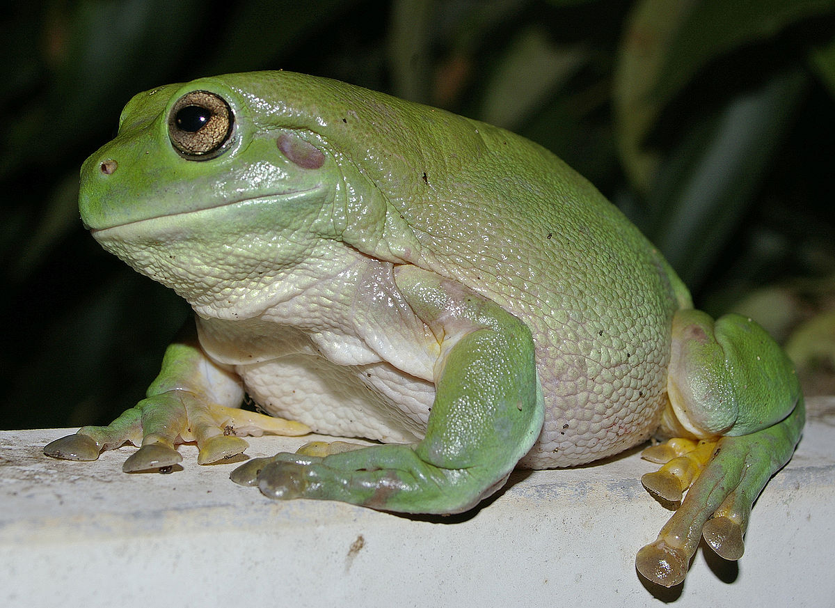 australian green tree frog wikipedia. Black Bedroom Furniture Sets. Home Design Ideas