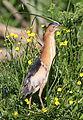 Little bittern, Ixobrychus minutus - - at Rietvlei Nature Reserve, Gauteng, South Africa (22256313886).jpg