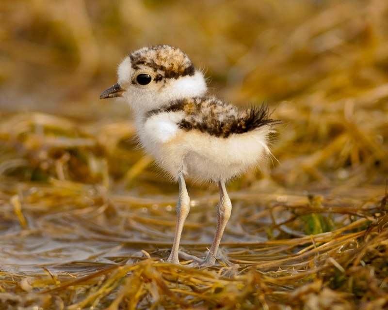 Little ringed plover - chick