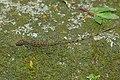 Lizard 2015-06-09 (4) (39640342484).jpg